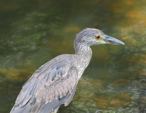 Yellow-crowned Night-Heron, Parsippany, NJ, July 3, 2014 (photo by Jonathan Klizas)