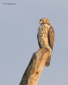 Broad-winged Hawk, Negri-Nepote Grasslands, NJ, Aug. 14, 2014 (photo by Carolyn Arnesen)