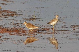 Short-billed Dowitcher, Lesser Yellowlegs, Negri-Nepote Grasslands, NJ, Aug. 14, 2014 (photo by Carolyn Arnesen)