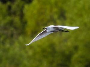 Little Blue Heron, Melanie Lane, Hanover, NJ, Aug. 11, 2014 (Photo by Chuck Hantis)