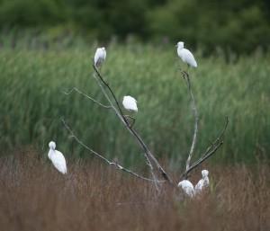 Little Blue Herons, Melanie Lane, Hanover Twp., NJ, Aug. 15, 2014 (photo by Chuck Hantis)