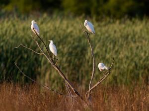 Little Blue Herons, Melanie Lane, Hanover Twp., NJ, Aug. 14, 2014 (photo by Chuck Hantis)