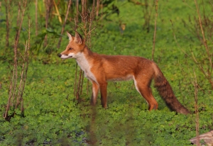 Red Fox, Hanover Twp., NJ, Aug. 20, 2014 (photo by J. Klizas)