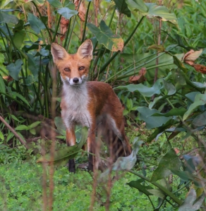 Red Fox, Hanover Twp., NJ, Aug. 20, 2014 (photo by J. Klizas)