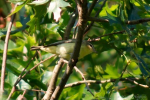 Philadelphia Vireo, Glenhurst Meadows, NJ, Aug. 26, 2014 (photo by Robert Gallucci)