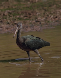 Glossy Ibis, Finderne Wetlands, NJ, Aug. 19, 2014 (photo by Jonathan Klizas)