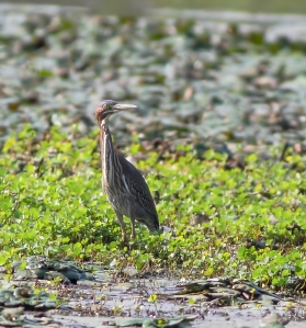 Green Heron, Melanie Lane Wetlands, NJ, Aug. 10, 2014 (ID photo by Jonathan Klizas)