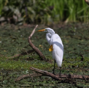 Tagged Great Egret, Melanie Lane, Hanover Twp., NJ, Aug. 18, 2014 (photo by Jonathan Klizas)