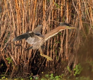 Green Heron, Hanover Twp., NJ, Aug. 24, 2014 (photo by J. Klizas)