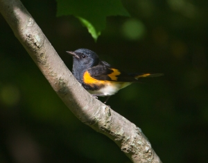 American Redstart, Griggstown Grasslands, NJ, Aug. 15, 2015 (photo by Chris Duffek)