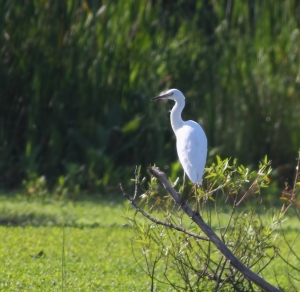 Little Blue Heron, Melanie Lane Wetlands, NJ, Aug. 10, 2014 (ID photo by Jonathan Klizas)