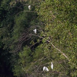 Little Blue Herons, Lincoln Park Gravel Pits, NJ, Aug. 21, 2014 (photo by Jonathan Klizas)