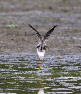Lesser Yellowlegs en pointe, Lincoln Park, NJ, Aug. 24, 2014 (photo by Jonathan Klizas)