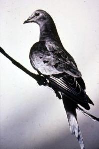 Martha, the last known Passenger Pigeon, Cincinnati Zoo, 1914.
