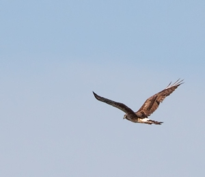 Northern Harrier,  Lincoln Park, NJ, Aug. 29, 2014 (photo by J. Klizas)