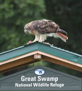 Red-tailed Hawk, Great Swamp NWR, NJ, Aug. 23, 2014 (photo by Jonathan Klizas)