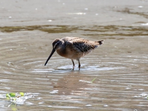 Short-billed Dowitcher, Glenhurst Meadows, NJ, Aug. 27, 2014 (photo by Jim Mulvey)