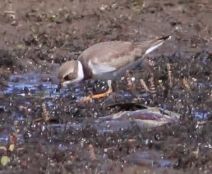 Semipalmated Plover, Lincoln Park, NJ, Aug. 29, 2014 (photo by Jonathan Klizas)