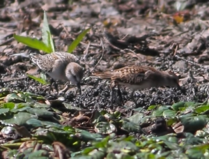 Semipalmated and Least Sandpipers, Lincoln Park, NJ, Aug. 28, 2014 (photo by Jonathan Klizas)