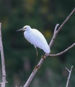 Snowy Egret, Melanie Lane, Hanover Twp., NJ, Aug. 13, 2014 (photo by Jonathan Klizas)