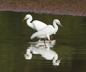Snowy Egrets, Finderne Wetlands, NJ, Aug. 20, 2014 (photo by Jonathan Klizas)