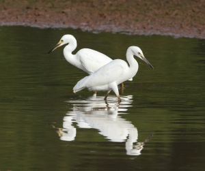 Snowy Egrets, Finderne Wetlands, NJ, Aug. 20, 2014 (photo by Jonathan Klizas)