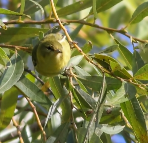 Tennessee Warbler,  Lincoln Park, NJ, Aug. 29, 2014 (photo by J. Klizas)