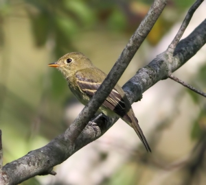 Yellow-bellied Flycatcher, Timberbrook Lake, Rockaway Twp., NJ, Aug. 26, 2014 (photo by Jonathan Klizas)