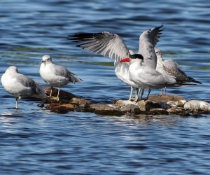 Caspian Tern, Lake Musconetcong, NJ, Sep. 12, 2014 (photo by Jonathan Klizas)
