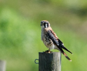 American Kestrel, Hanover Twp., NJ, Sep. 7, 2014 (photo by Chuck Hantis)