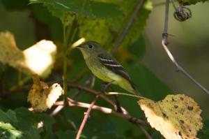 Yellow-bellied Flycatcher, Griggstown Grassland Preserve, NJ, Sep. 4, 2014 (photo by Chris Duffek)
