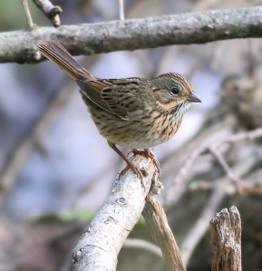 Lincoln's Sparrow, Long Hill Twp., NJ, Sep. 20, 2014 (photo by Jonathan Klizas)
