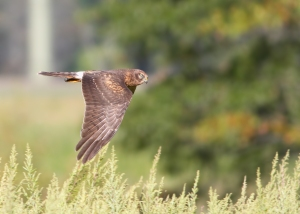 Northern Harrier, Troy Meadows, NJ, Sep. 17, 2014 (photo by Jonathan Klizas)