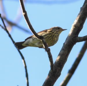 Northern Waterthrush, Troy Meadows, NJ, Sep., 27, 2014 (photo by Jonathan Klizas)