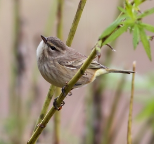Palm Warbler (Western spp) at South Branch Preserve, Mt. Olive Twp., NJ, Sep. 21, 2014 (photo by J. Klizas)