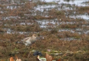 Pectoral Sandpiper, Boonton Reservoir, NJ, Sep. 6, 2014 (photo by J. Klizas)
