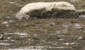 3 Pectoral Sandpipers and 1 Least Sandpiper, Boonton Reservoir, NJ, Sep. 6, 2014 (photo by J. Klizas)