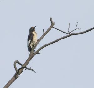 Immature Red-headed Woodpecker, Glenhurst Meadows, NJ, Sep. 28, 2014 (photo by Jonathan Klizas)