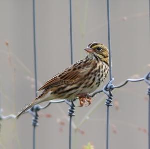 Savannah Sparrow, South Branch Preserve, Mt. Olive Twp., NJ, Sep. 21, 2014 (photo by J. Klizas)