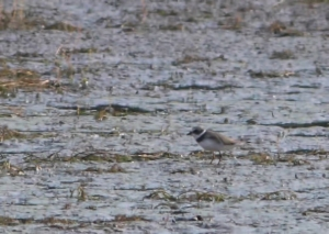 Semipalmated Plover, Boonton Reservoir, NJ, Sep. 6, 2014 (photo by Jonathan Klizas)