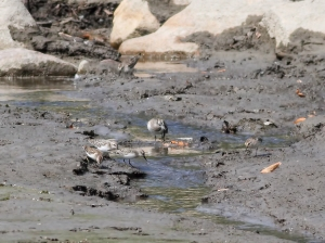 Semipalmated and Least Sandpipers at Boonton Reservoir, NJ, Sep. 20, 2014 (photo by J. Klizas)