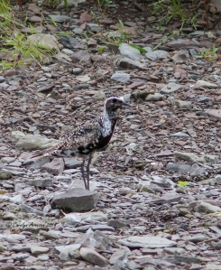 American Golden-Plover, Montgomery Twp., NJ, Aug. 31, 2014 (photo by Carolyn Arnesen)