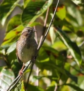 Swamp Sparrow, Troy Meadows, NJ, Sep., 27, 2014 (photo by J. Klizas)