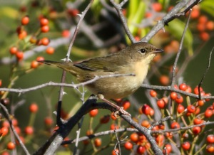 A pale Common Yellowthroat, Troy Meadows, NJ, Oct. 5, 2014 (photo by Jonathan Klizas)