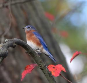 Eastern Bluebird, Troy Meadows, NJ, Oct. 26, 2014 (photo by Jonathan Klizas)