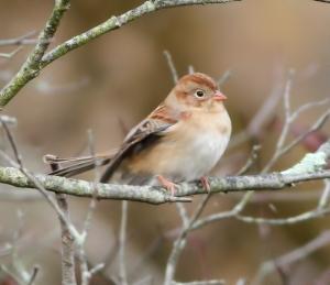 Field Sparrow, Troy Meadows, NJ, Oct. 18, 2014 (photo by Jonathan Klizas)