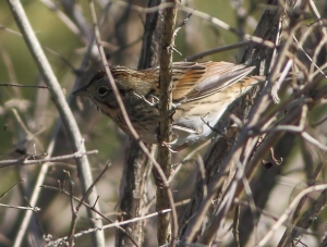 Lincoln's Sparrow, Troy Meadows, NJ, Oct. 5, 2014 (photo by Jonathan Klizas)