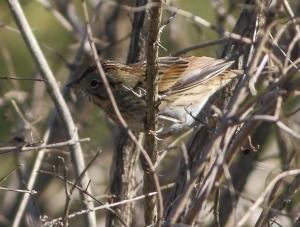 Lincoln's Sparrow, Troy Meadows, NJ, Oct. 5, 2014 (photo by Jonathan Klizas)