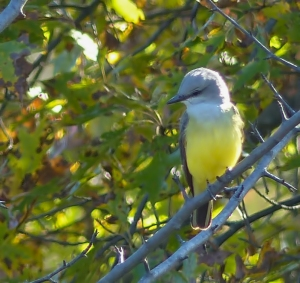Western Kingbird, Lord Stirling Park, NJ, Oct. 25, 2014 (photo by Michael Zielinski)