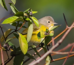 Nashville Warbler, Troy Meadows, NJ, Oct. 5, 2014 (photo by Jonathan Klizas)